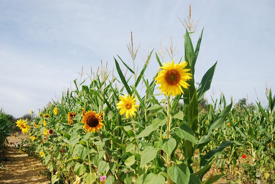 Gyomirtás a kukorica és a napraforgó esetében