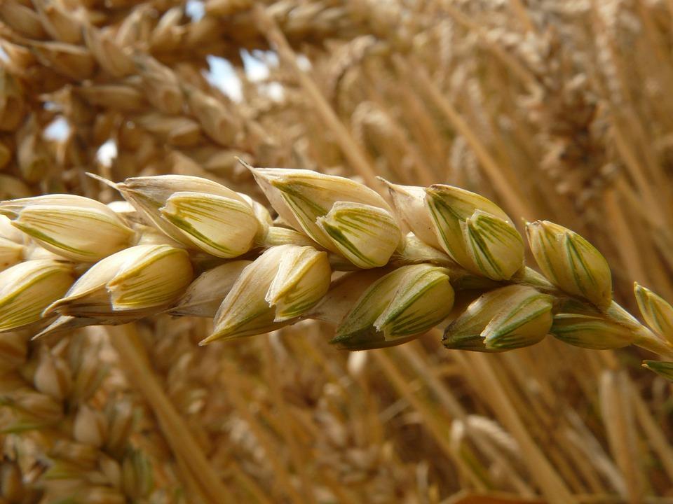 Hányszor juttassunk ki műtrágyát az őszi és a tavaszi búza esetében?