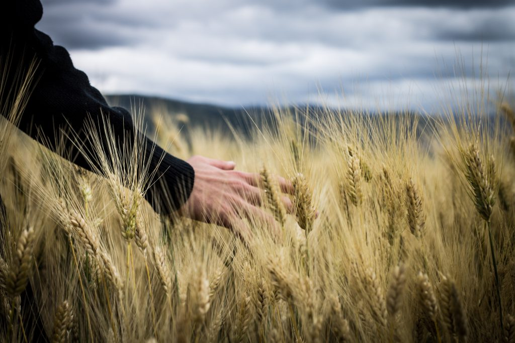 Amit a hibrid búza termesztéséről tudni kell