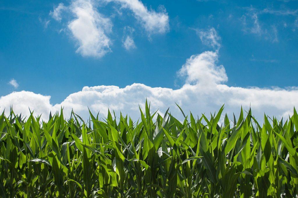 Milyen kukorica vetőmagot vessen tavasszal?