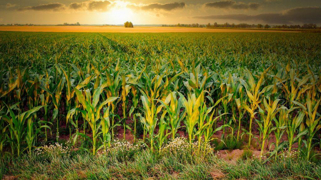 Továbbra is kedvezőtlen az időjárás a kukorica vetése szempontjából