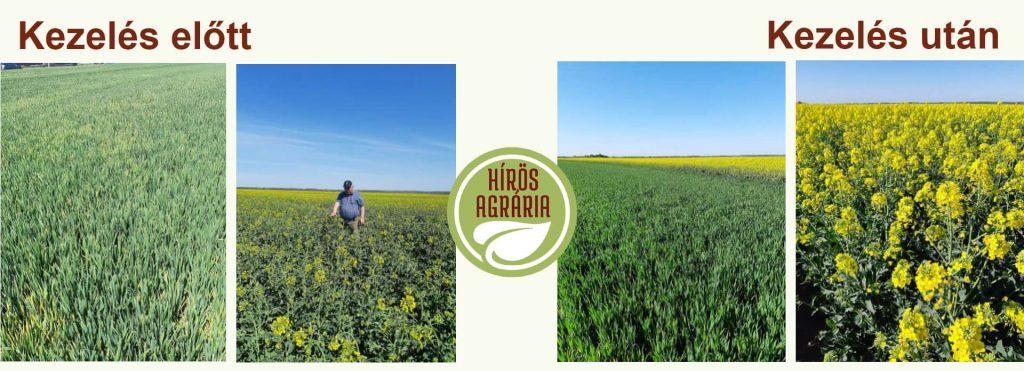 Kezelés előtt és után: levéltrágya és növénykondicionáló hatása 5 nap után
