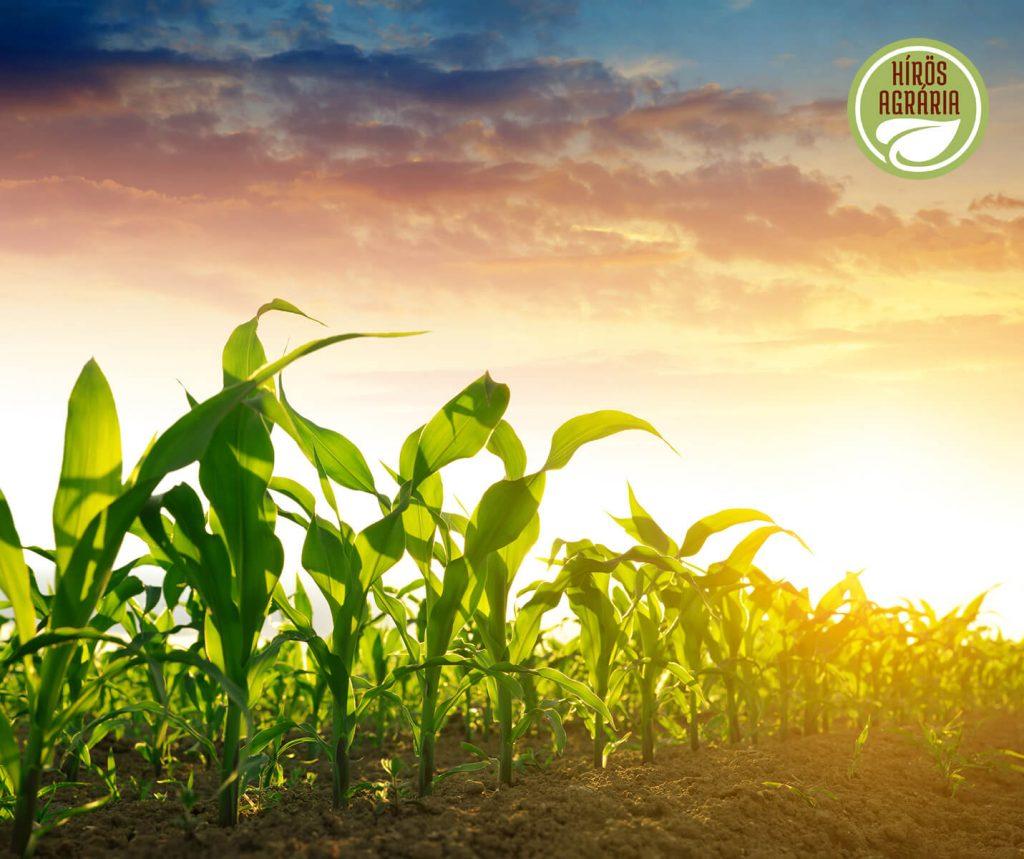 Hírös Agrária kukorica