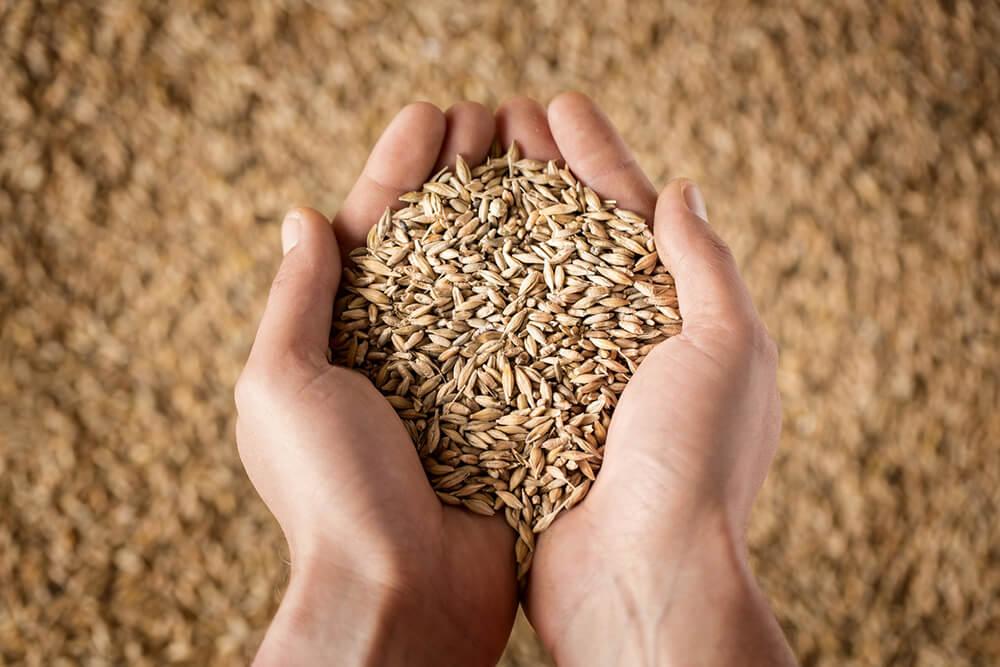 gabona vetőmag