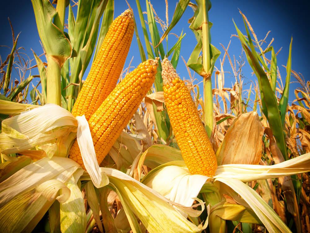 műtrágya kukorica