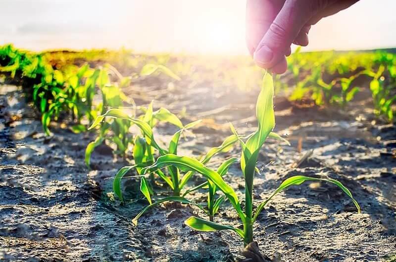 kukorica gyomirtási tippek