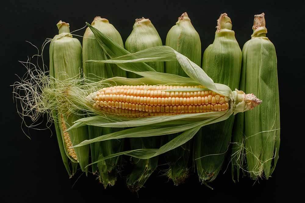 Védekezés a kukorica rovarkártevői ellen